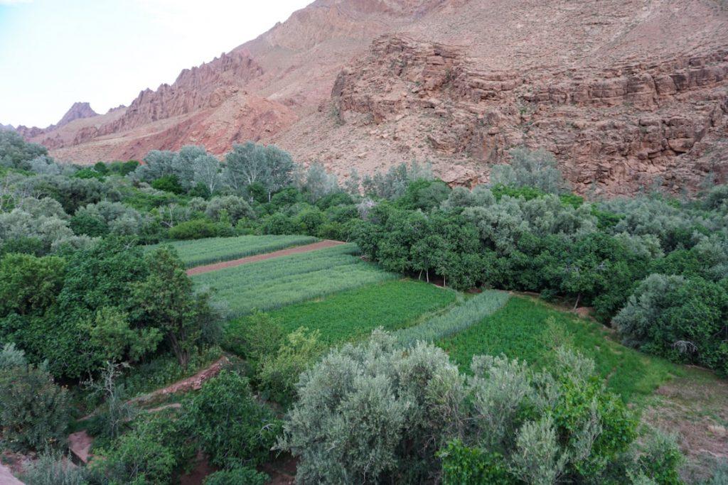 Uprawa mięty Maroko
